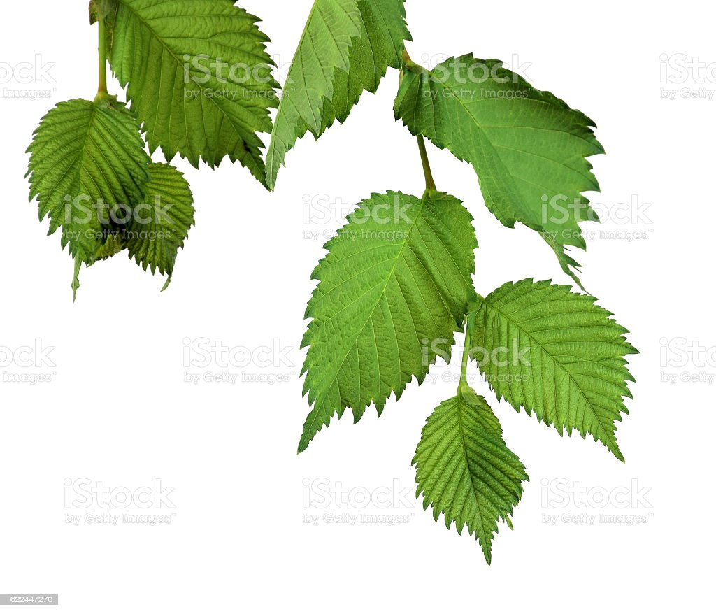 Elm Leaves isolated. Branch with young leaves. stock photo