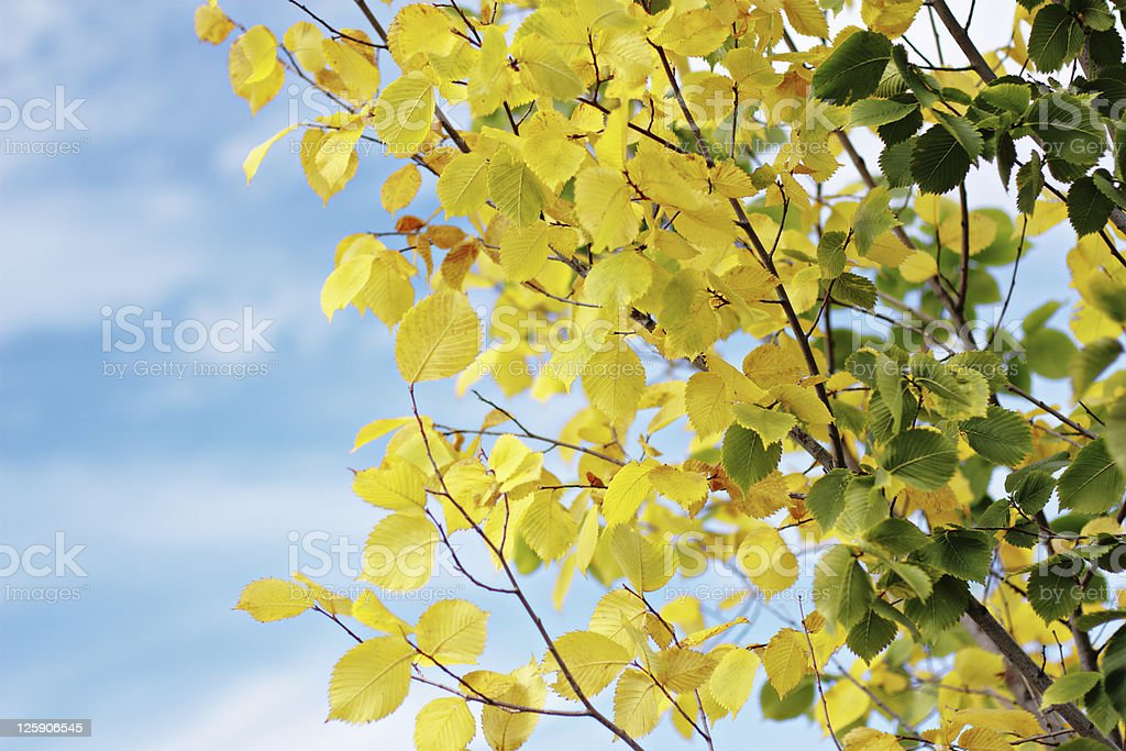 Elm royalty-free stock photo