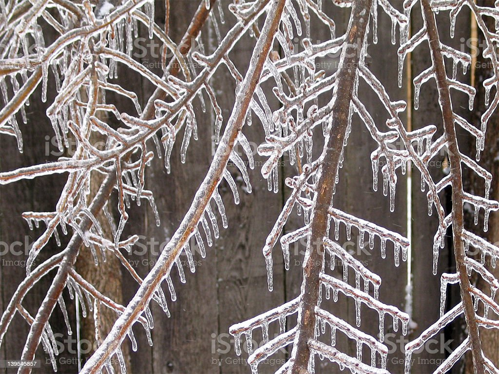 Elm tree branches under ice royalty-free stock photo