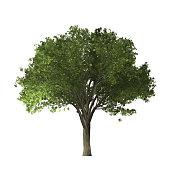 Elm tree - digital painting