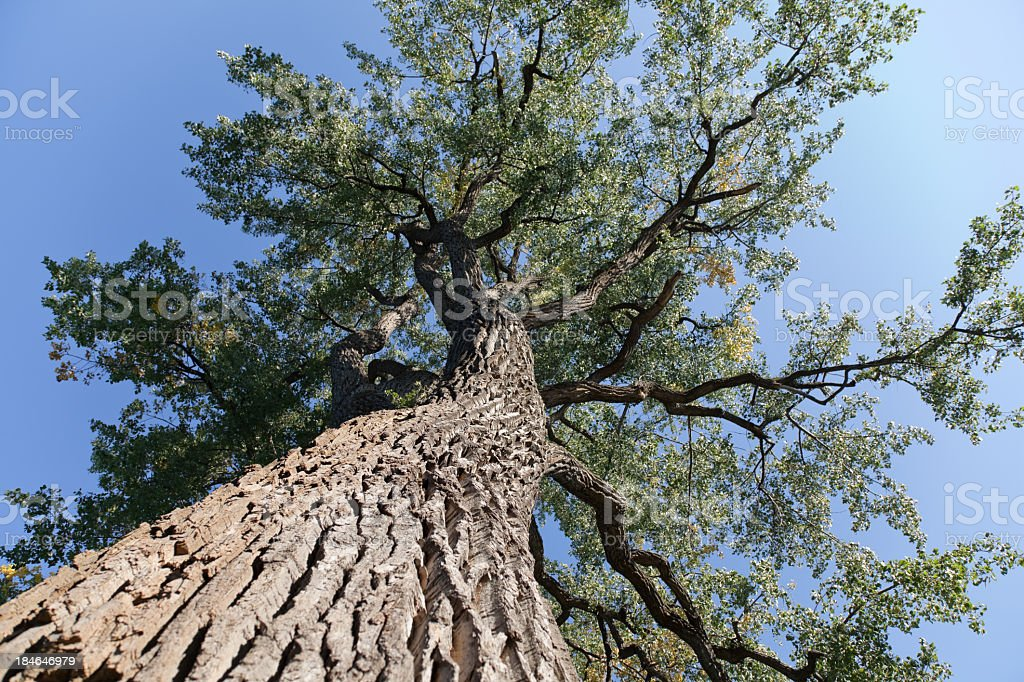 Elm tree from below royalty-free stock photo