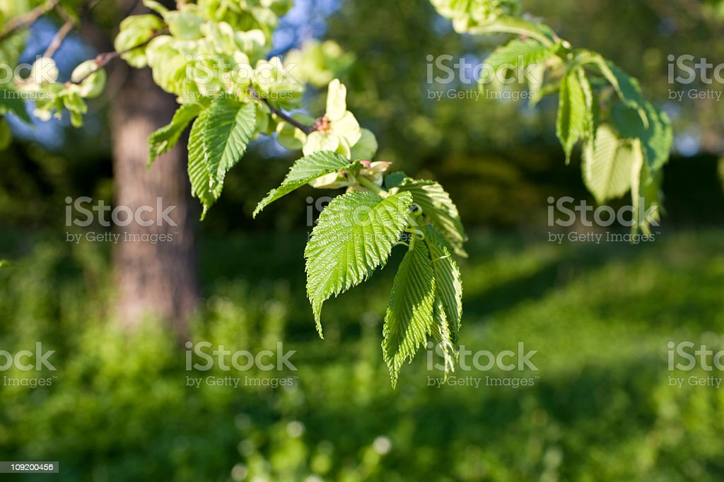 Elm tree in spring royalty-free stock photo