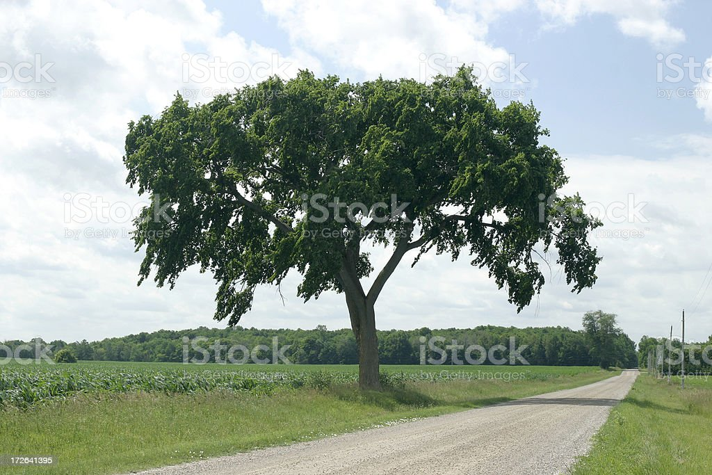 Elm Tree in Summer royalty-free stock photo