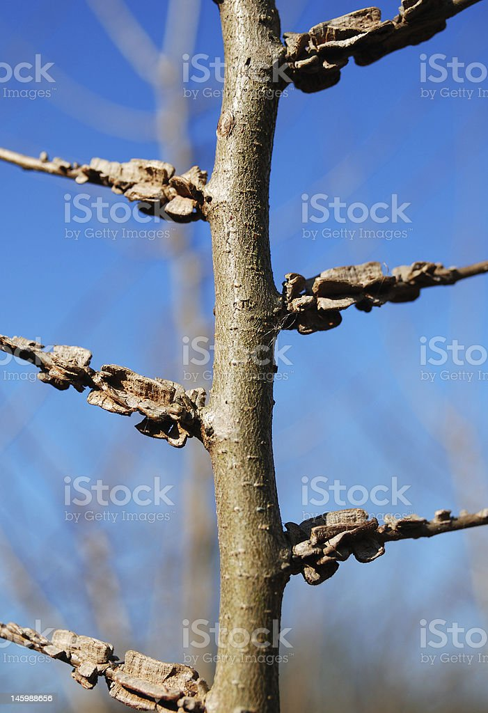 elm tree (Ulmus minor) royalty-free stock photo
