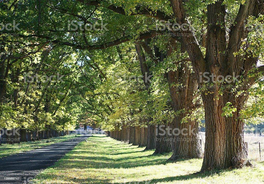 Elm Trees royalty-free stock photo
