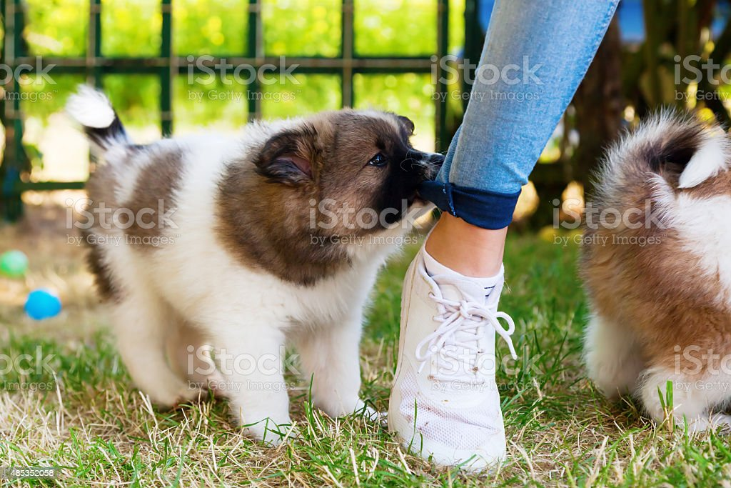 Elo puppy bites in a trousers stock photo