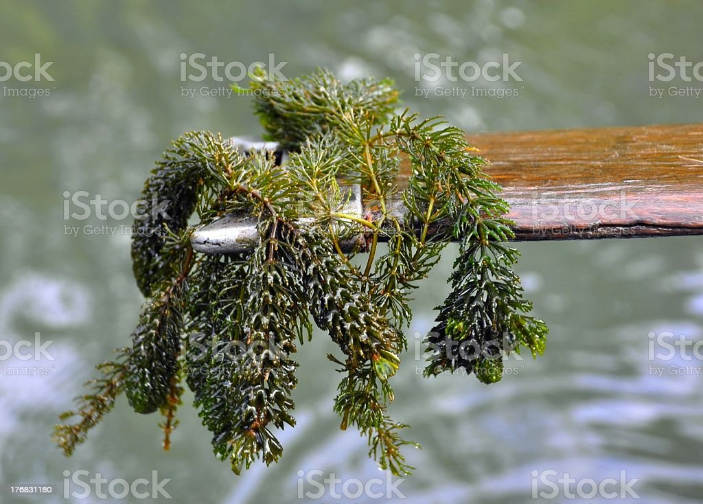 Elodea canadensis stock photo