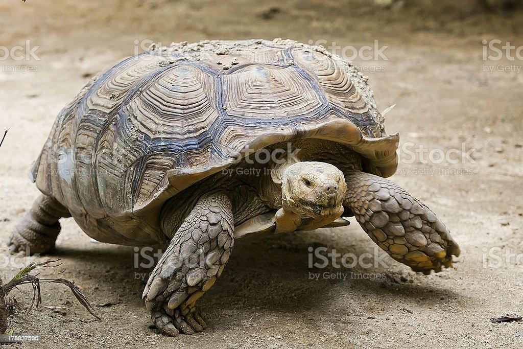 Elongated Tortoise - Indotestudo elongata stock photo