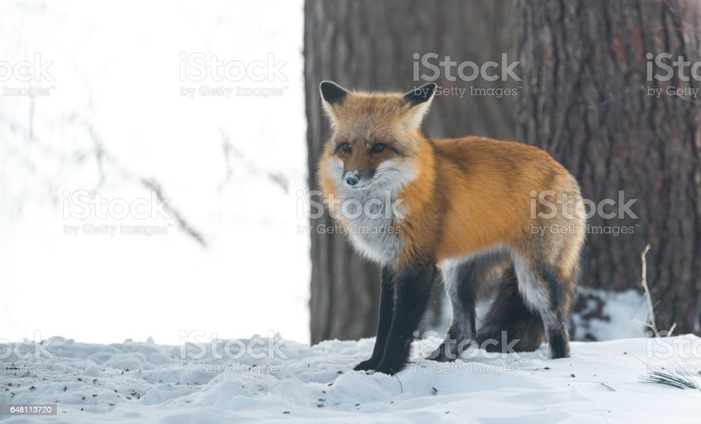 Elusive shy Red Fox, (Vulpes vulpes), visits on winter day. stock photo