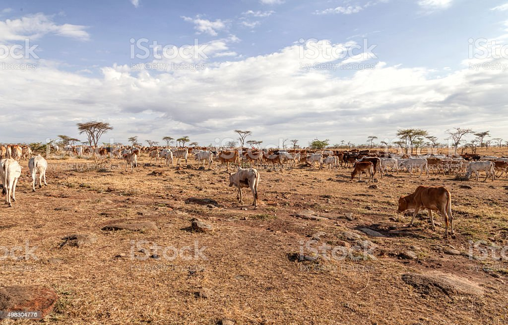 Emanciated masai cattle in search of wate and food. stock photo