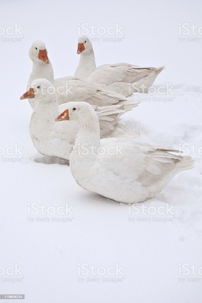 Embden geese in the snow stock photo