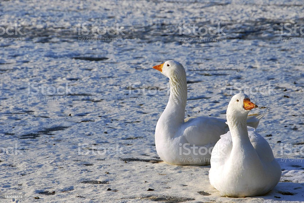 Embden Goose on the ice stock photo