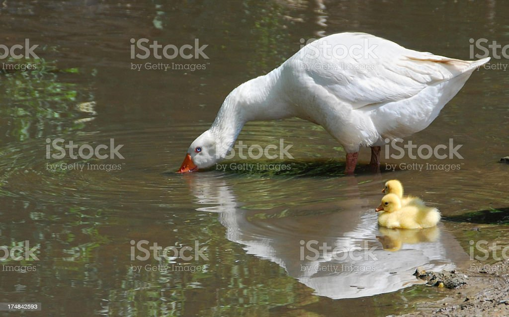 Embden Goose with goslings stock photo