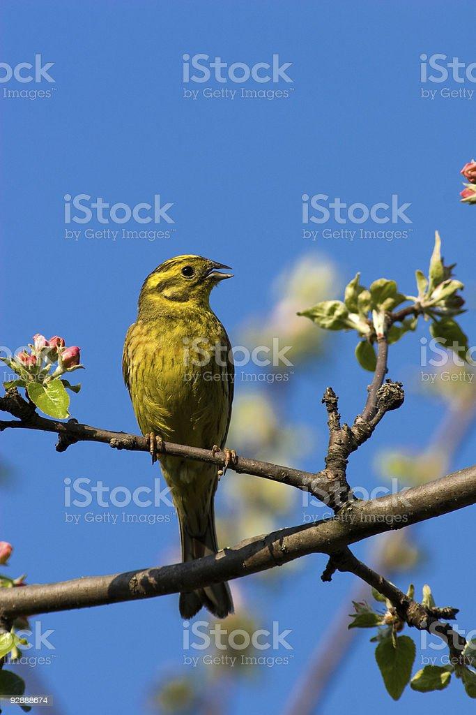Emberiza citrinella, Yellowhammer royalty-free stock photo
