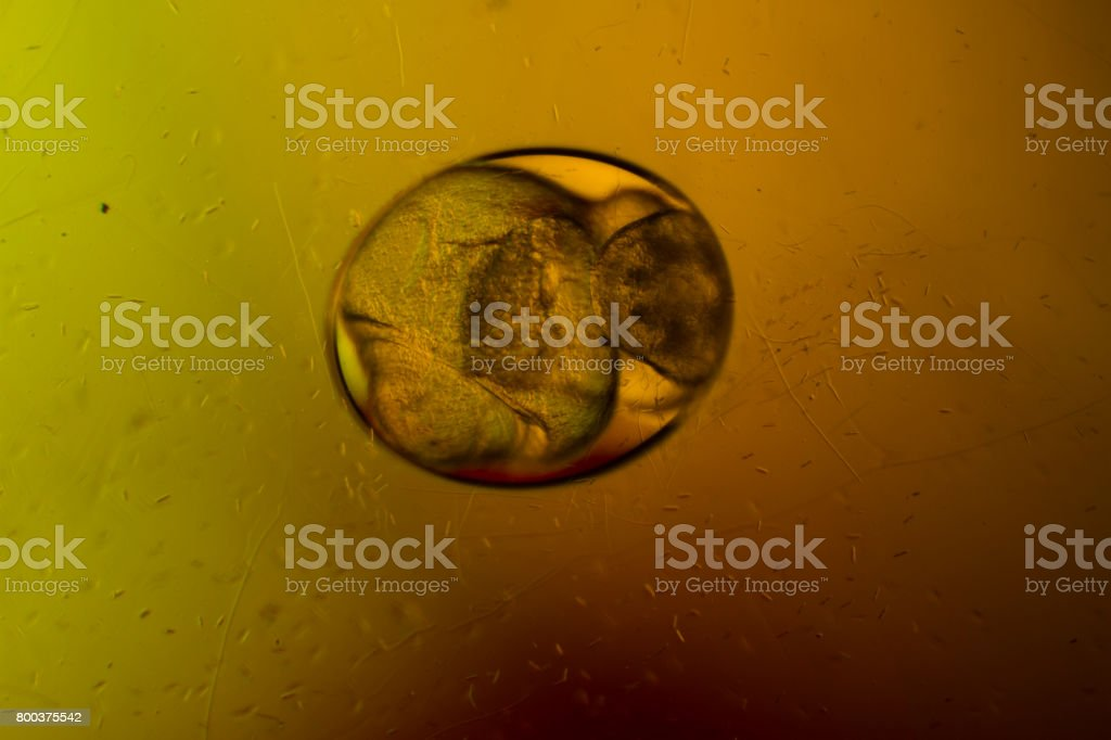 Embryo of snail in egg stock photo