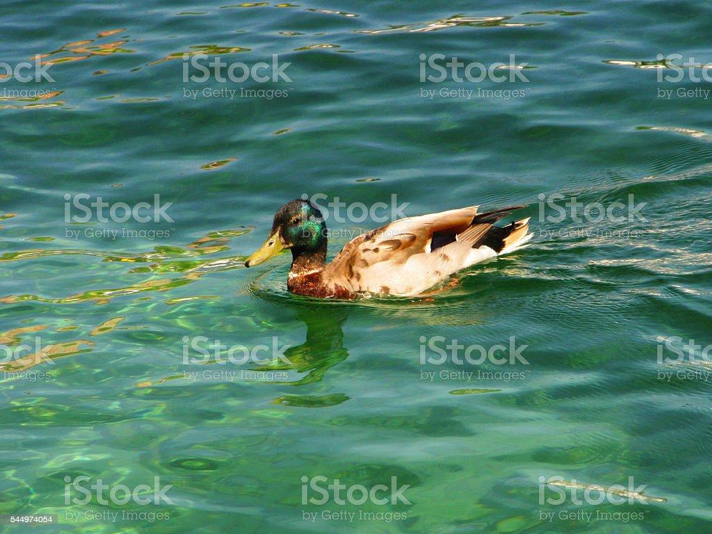 Emerald duck stock photo