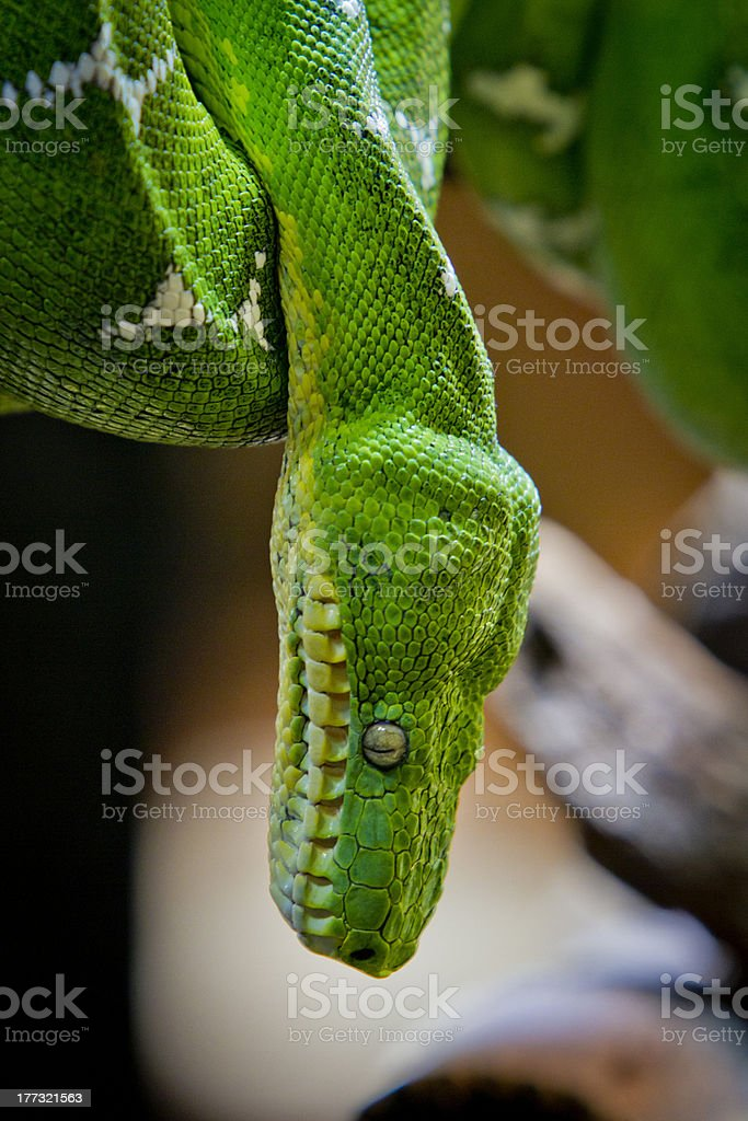 Emerald Green Boa Constrictor Hangs Head Down royalty-free stock photo