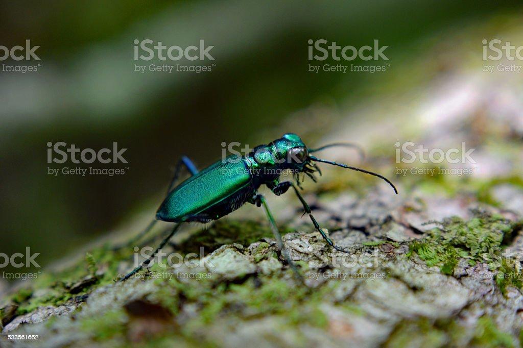 Emerald Green Tiger Beetle on Fallen Tree stock photo