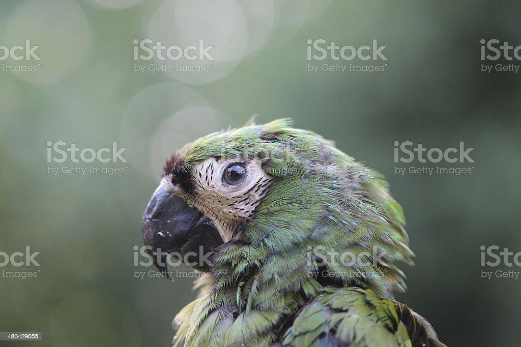 Emerald Macaw royalty-free stock photo