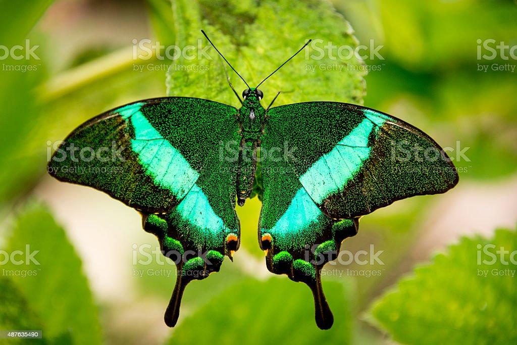 Emerald Swallowtail (Papilio palinurus) stock photo