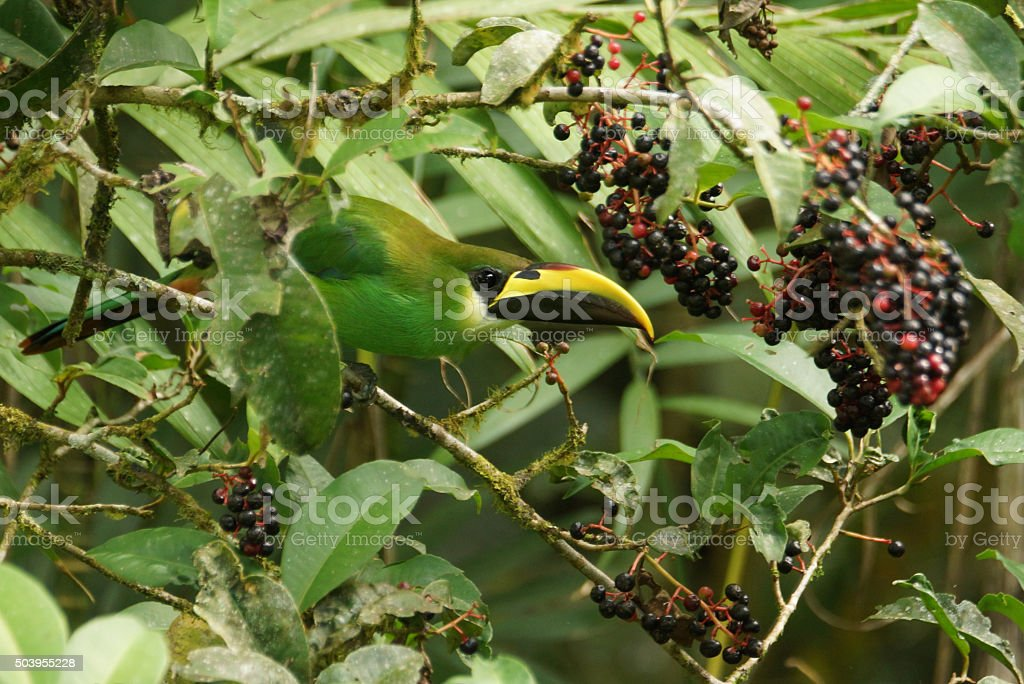Emerald toucanet stock photo