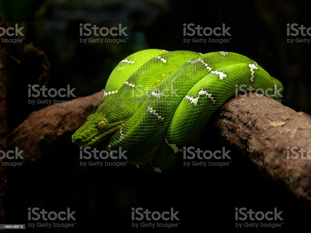 Emerald Tree Boa Coiled on a Branch stock photo