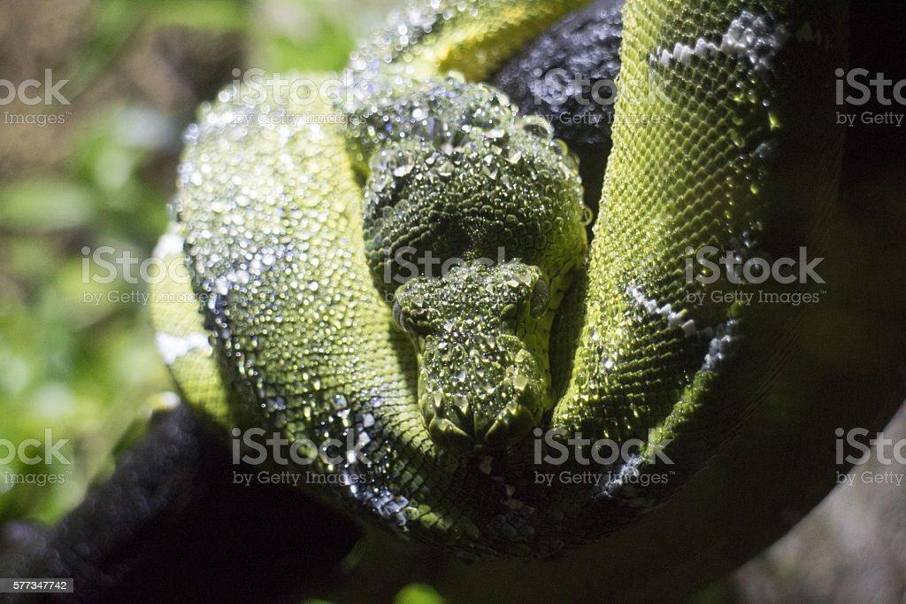 Emerald tree boa constrictor Snake stock photo