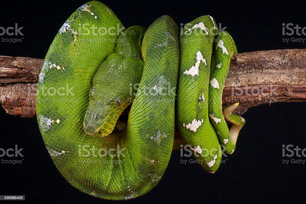 Emerald tree boa / Corallus caninus stock photo