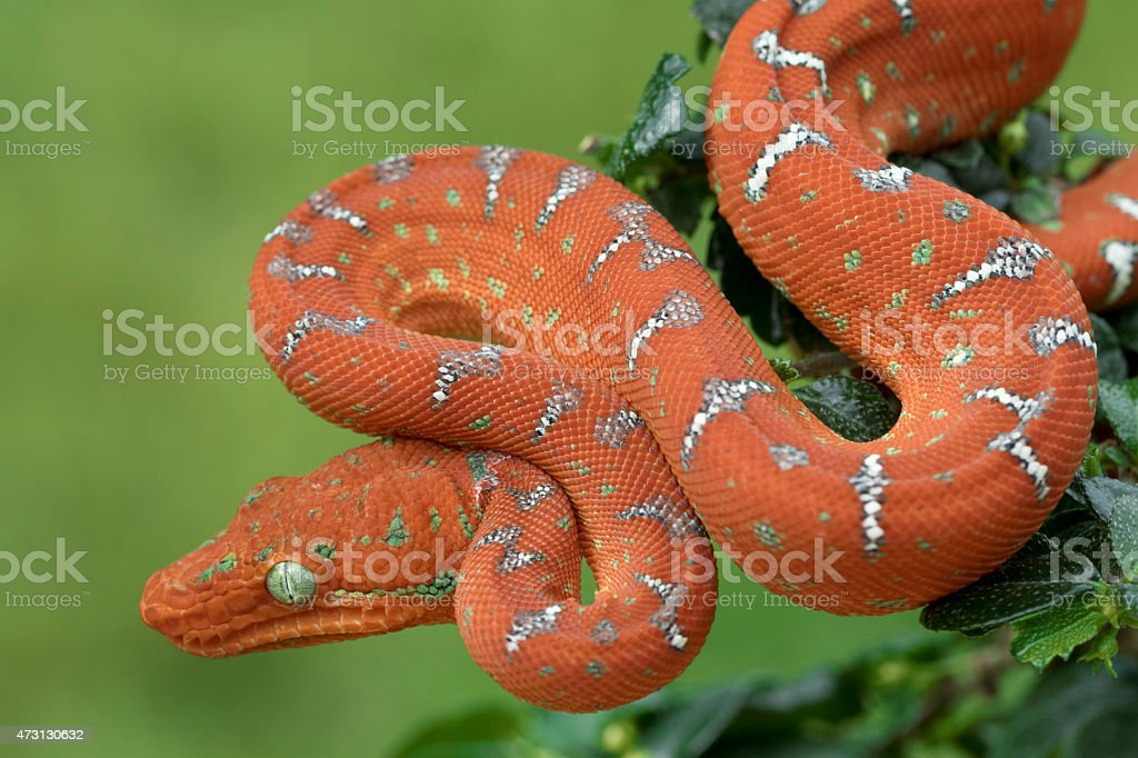 Emerald Tree Boa - Juvenile Red. Hunting in Tree stock photo