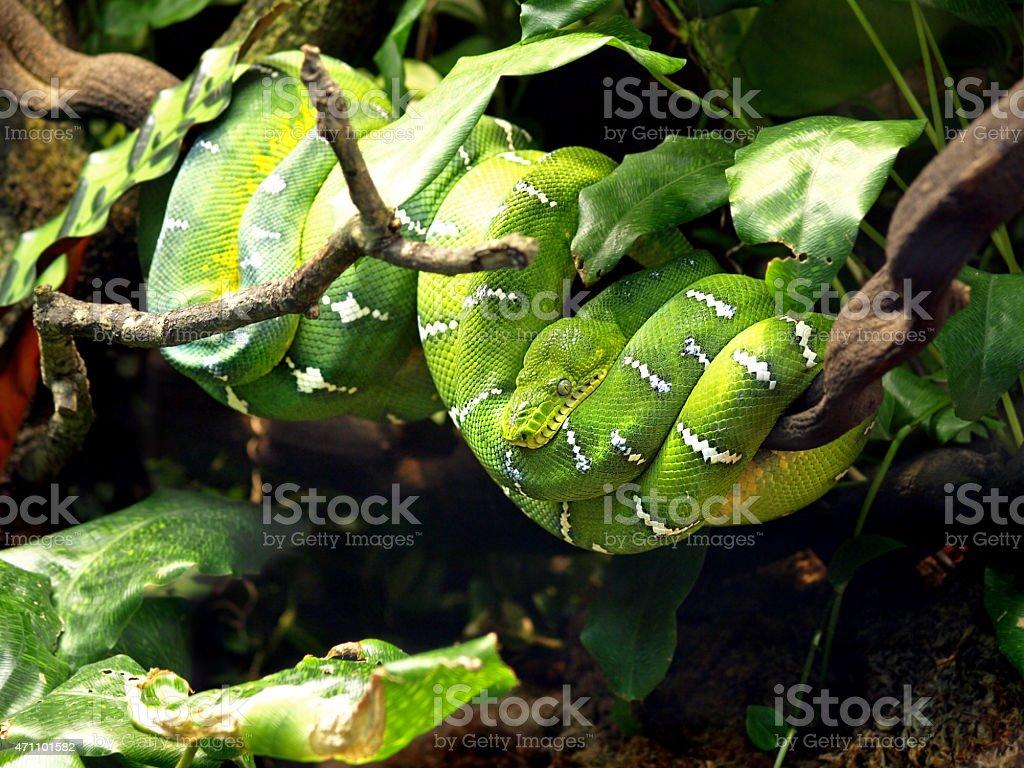 Emerald Tree Boa (Corallus caninus) Snake at Skansen, Stockholm, Sweden stock photo