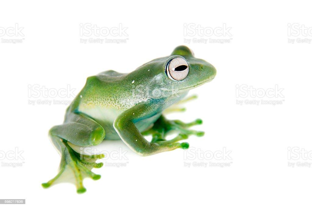 Emerald Tree frog on white background stock photo