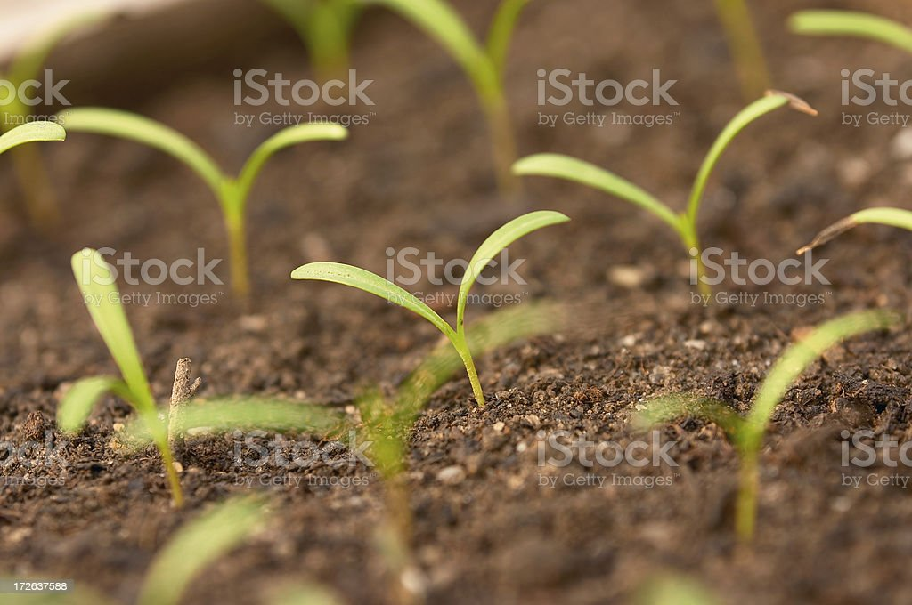 Emergent Seedlings royalty-free stock photo