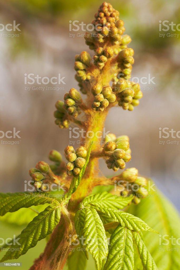 Emerging Chestnut blossom royalty-free stock photo