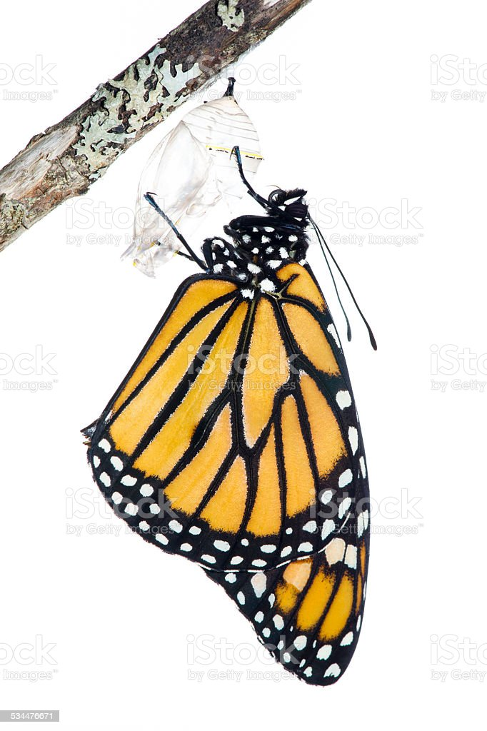 Emerging monarch butterfly stock photo