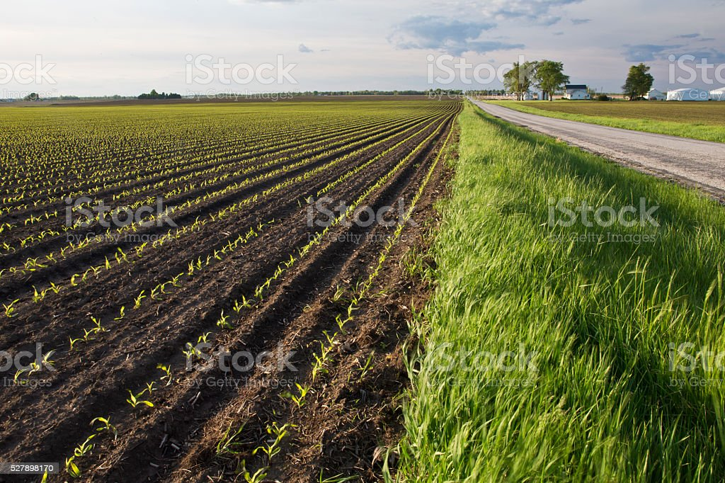 Emerging newly planted corn in evening sunlight stock photo