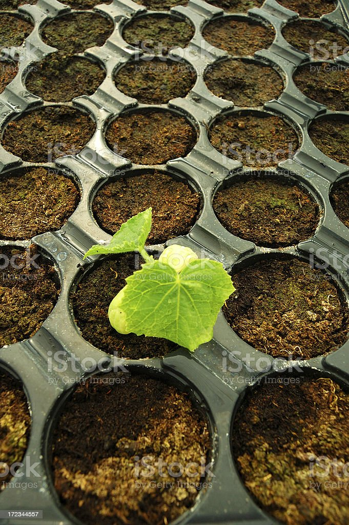 Emerging seed 3 royalty-free stock photo
