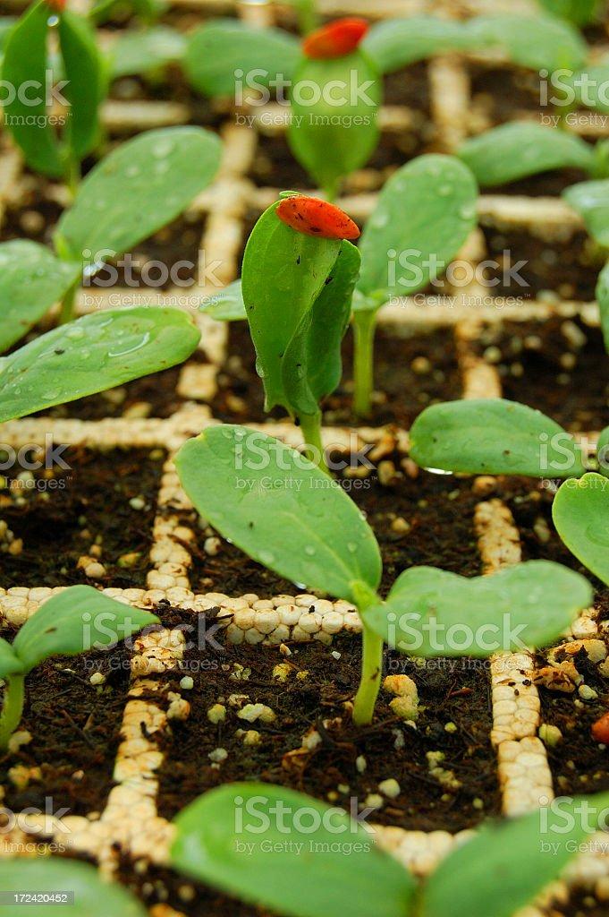 Emerging seeds 2 royalty-free stock photo