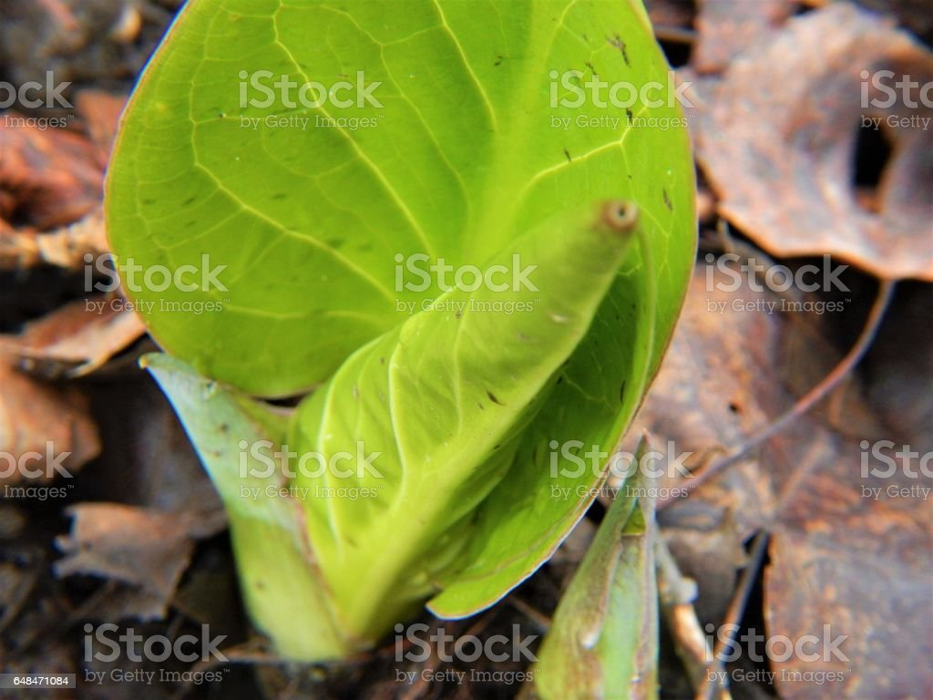 Emerging Skunk Cabbage Leaves stock photo