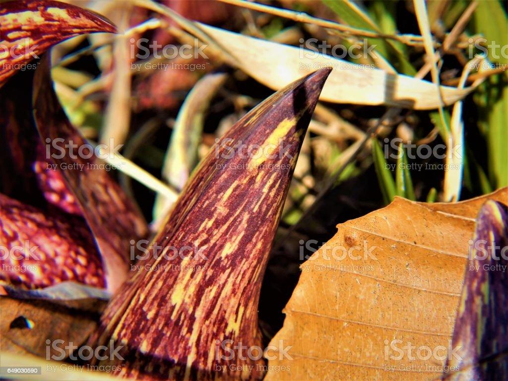 Emerging Skunk Cabbage Spathe stock photo