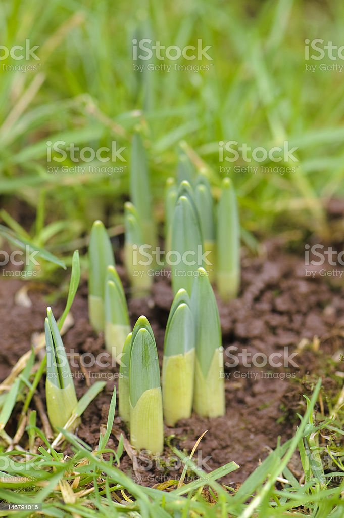 Emerging spring bulb royalty-free stock photo