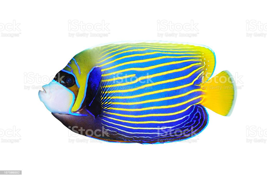 Emperor Angelfish on white background facing left stock photo