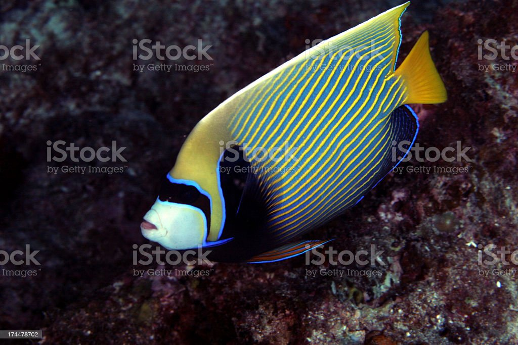 Emperor Angle near the Reef royalty-free stock photo