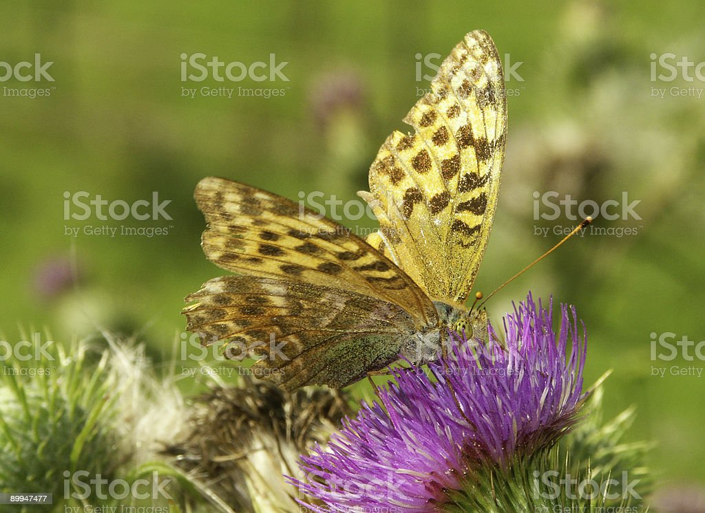Emperor coat on mountain flower stock photo