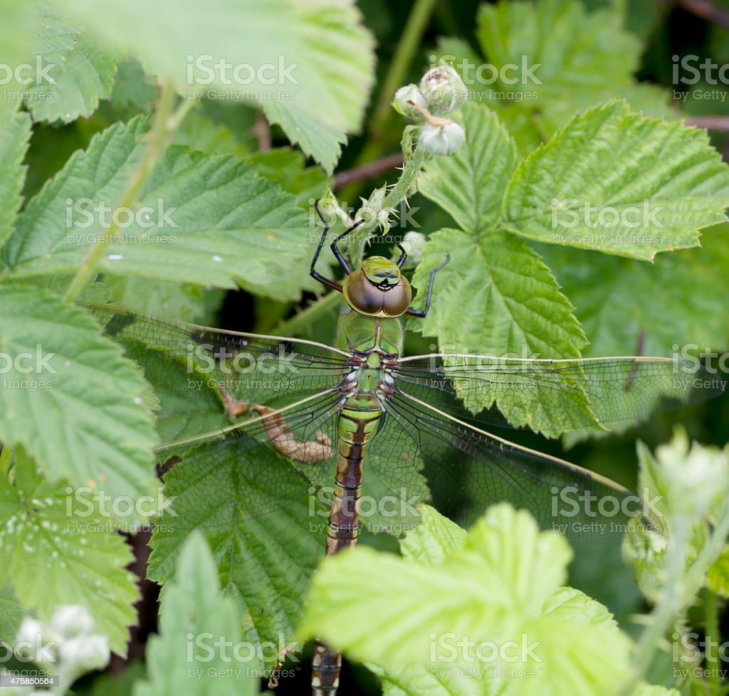 Emperor Dragonfly (Anax imperator) Female stock photo
