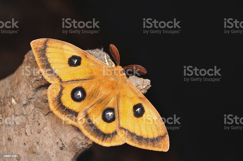 emperor moth, Aglia tau royalty-free stock photo