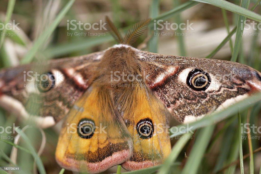 Emperor moth closeup stock photo
