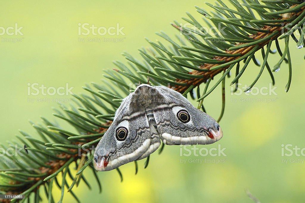 Emperor moth (Eudia pavonia) stock photo