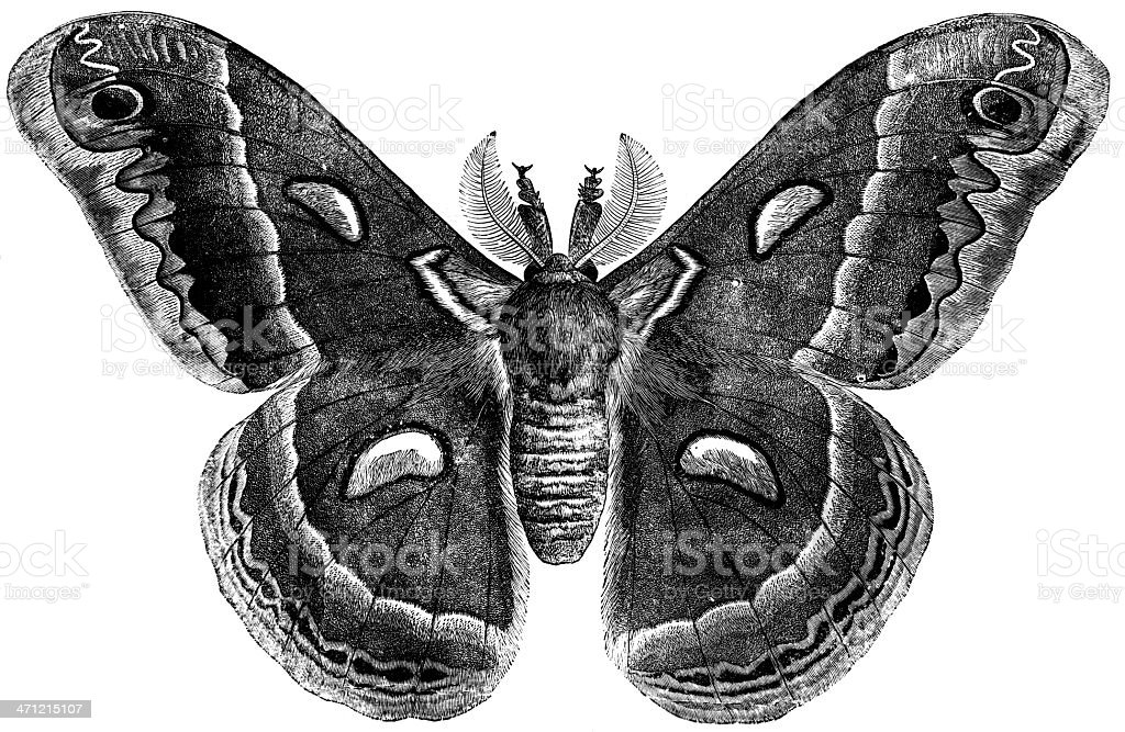Emperor Moth stock photo