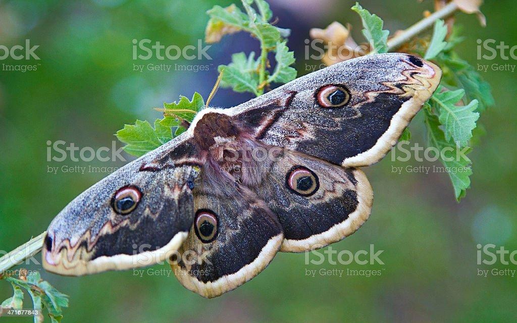Emperor moth (Saturnia pavonia) stock photo