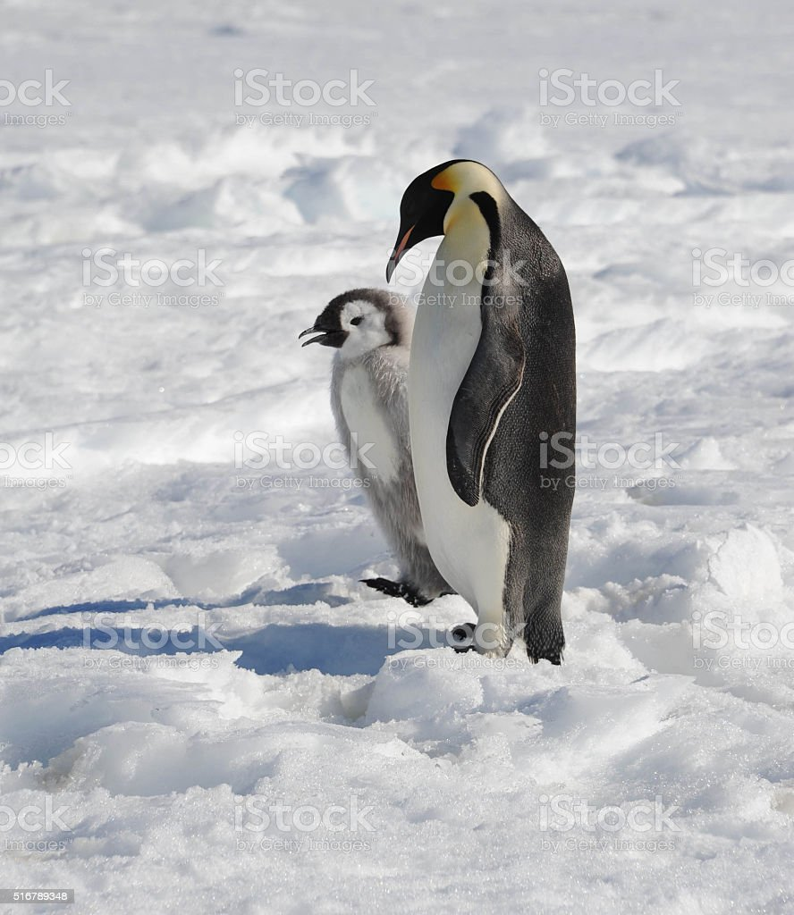 Emperor Penguin and chick stock photo